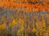 Carpet of Aspen trees in autumn time