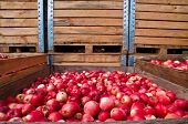 Red apple collection in wooden boxes during harvest