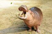 Feed Hippopotamus In A Zoo