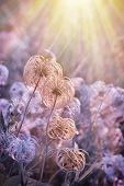 Fluffy Pappus flower