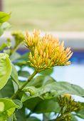 Budding Ixora Flower