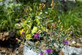 Cottonthistle (Onopordum acanthium)