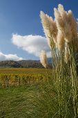 picture of pampa  - Pampas grass in a garden in the alps of France with blue sky.