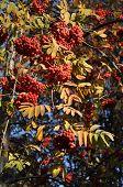 stock photo of ash-tree  - Fruits of mountain ash tree - JPG