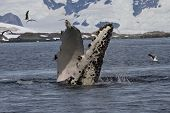 Humpback Whale Flippers That Flips Under Water
