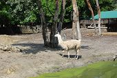 picture of lamas  - White Lama breastfeed her baby at the zoo - JPG