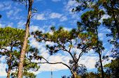 Looking Up At Scrub Pine Trees Against Sky