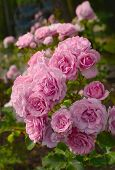 stock photo of climbing rose  - The Rose Garden is one of the highlights of Stanley Park - JPG