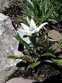 Swiss Edelweiss
