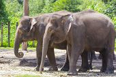 image of indian elephant  - Indian Elephants walking in the Zoo - JPG