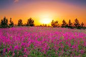 stock photo of night-blooming  - the summer landscape with purple flowers on a meadow and sunset - JPG