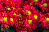 Red Chrysanthemums Flowers