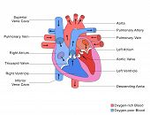 Simplified Structure of Heart