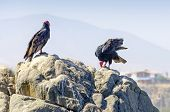 Turkey vultures, Mollendo, Peru