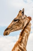 foto of sub-saharan  - Close up photo of the neck and face of a giraffe - JPG