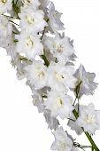 Garden White Flowers Macro