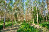Background Of Rubber Trees
