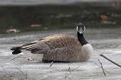 pic of canada goose  - Canada Goose  - JPG