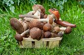 Aspen Mushrooms And Boletus Mushrooms In A Wicker Basket