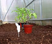 Tomato Seedlings In The Greenhouse