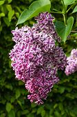 pic of lilac bush  - Green branch with spring lilac flowers close up - JPG