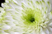 Close up image of white chrysanthemum flower