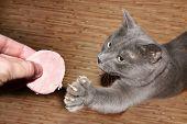 Grey Cat And Sausage