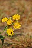 yellow field flower