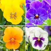 Color Pansies