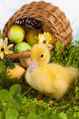 Easter duckling in grass with a basket full of easter eggs