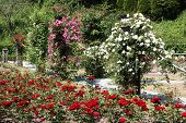 foto of climbing rose  - A path lined with pink and white climbing roses runs diagonally behind a bed of deep red roses in a formal rose garden - JPG