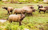 Water Buffalo  On Green Grass