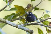 White-throated Fantail Flycatcher Bird In Nepal