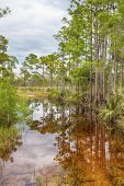 Tropical Trees In The Swamp Of Everglades