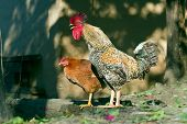 foto of nepali  - domestic hen and rooster in nepali tharu farm - JPG
