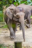 picture of indian elephant  - Indian Elephants walking in the Zoo - JPG