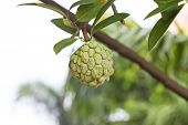 stock photo of custard  - Custard apple agriculture apple, Custard Apple Fruit,