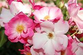 stock photo of rosa  - Flower of rosa odorata in the flowerbed - JPG