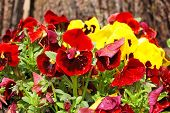 stock photo of viola  - Yellow and red Pansy  - JPG