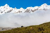 pic of snow capped mountains  - Two cows on a ridge with snow capped Andes mountains in the background near Huaraz Peru - JPG
