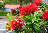picture of christmas flower  - red pohutukawa New Zealand Christmas tree flowers - JPG