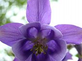 foto of adultery  - akvilegija perennial flower of the Buttercup family has different names in the catchment of orl - JPG
