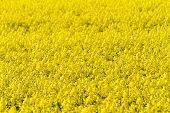 picture of rape-field  - Blooming canola field  - JPG