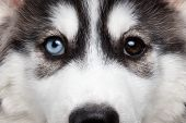 picture of husky  - Closeup Siberian Husky Puppy with Different Eyes - JPG