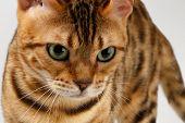foto of bengal cat  - Close - JPG