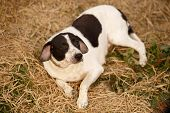 stock photo of manger  - Black and White Dog Lies on Manger, Top View ** Note: Shallow depth of field - JPG
