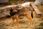 picture of manger  - Mixed Breed Ginger Dog  Stands on Manger and Turned Back - JPG