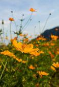 picture of cosmos flowers  - Orange cosmos flower in fieldCosmos flower family fompositae - JPG