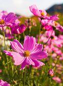 stock photo of cosmos  - Pink cosmos flower family fompositae cosmos flower in field - JPG
