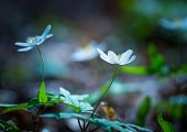 image of early spring  - Beautiful white springtime anemones in close up - JPG